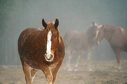 Belgian draft horses in the fog