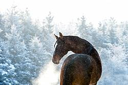 Bay Thoroughbred horse outside in snowfall