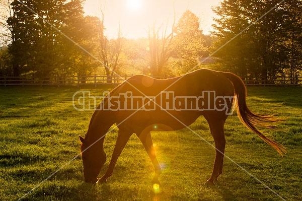 quarter horse broodmare