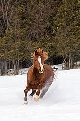 Single horse galloping through deep snow
