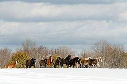 Herd of Rocky Mountain Horses standing on a hilltop in the snow