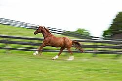 Thoroughbred gelding galloping around his paddock