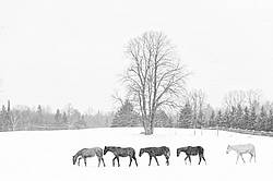 Five Rocky Mountain Horses