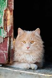 Orange cat sitting in barn doorway