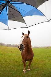 Chestnut horse and umbrella