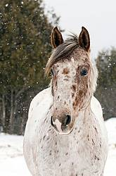 Portrait of an Appaloosa Horse