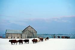 Cows Walking in Snowy Field