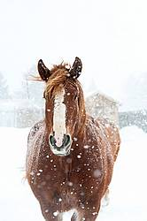 Belgian draft horses in snow storm