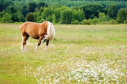 Belgian Horse in Field