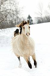 Rocky Mountain Horse Running in Deep Snow