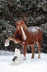 Belgian draft horse and dog playing