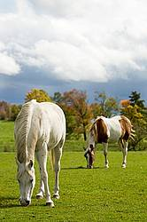 Horses grazing on late summer, early autumn pasture