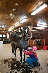 Woman clipping horse