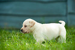 Golden Labrador puppies