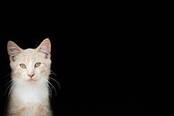 Orange cat against black background