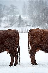 Two Cows Standing Back to Back