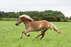 Haflinger horse running and playing in a field