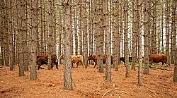 Cattle moving through Red Pine plantation