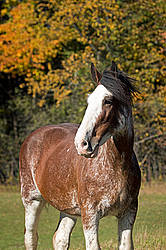 Portrait of a Clydesdale Draft horse