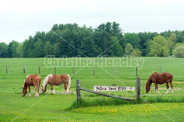 Belgian draft horses grazing