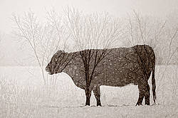 Multiple exposure of cattle, trees and snow