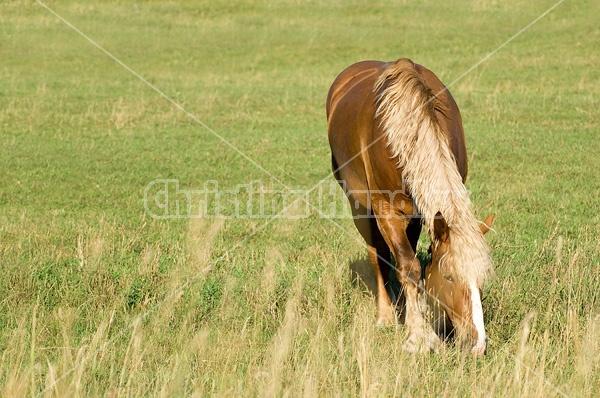 Photo of Belgian mare on summer pasture