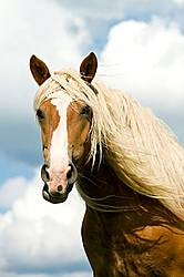 Portrait of Belgian draft horse