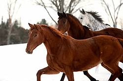 Three horses in snowy paddock