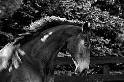 Portrait of a bay Thoroughbred gelding