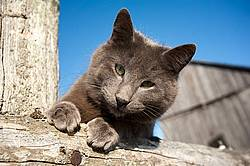 Gray barn cat on top of fence