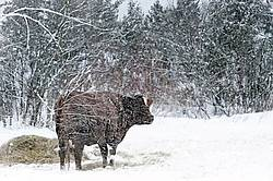 Beef Cow Standing in Snowy Field