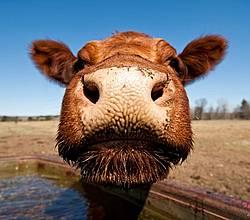 Closeup Photo of Cow Nose