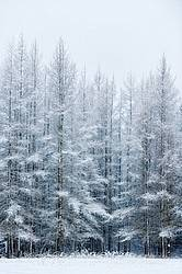 Tamarack trees covered in snow and frost