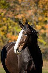 Portrait of a black horse in the autumn colors
