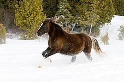 Rocky Mountain horse galloping through deep snow