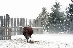 Beef Cow Standing in Snowstorm