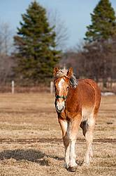 Yearling Belgian Draft Horse