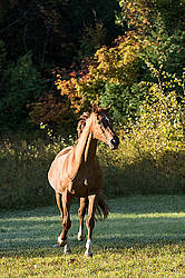 Chestnut Thoroughbred horse galloping in paddock