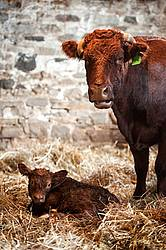 Beef Cow With Newborn Calf