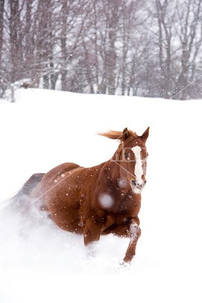 Chestnut quarter horse running in deep snow