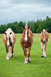 Three Belgian horses