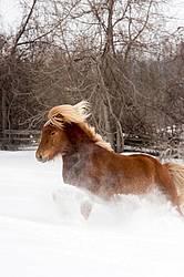 Chestnut Icelandic horse running through deep snow. Ontario Canada