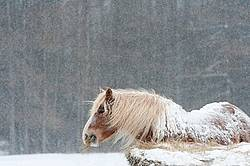 Belgian draft horse eating hay in snowstorm
