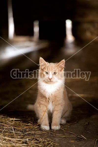 Orange and white barn kitten sitting inside barn
