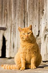 Orange cat sitting in front of barn