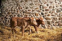 Twin Beef calves