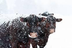 Beef Cows in Snowstorm