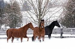 Three horses in deep snow