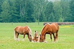 Belgian horses in pasture field