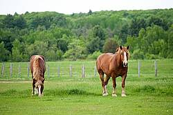 Two Belgian draft horses grazing side by side